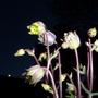 Nighttime Aquilegia....