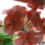 Salmon pink geranium