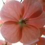 Geranium flower