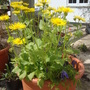 Inula and clematis (Inula helenium (Aillean))
