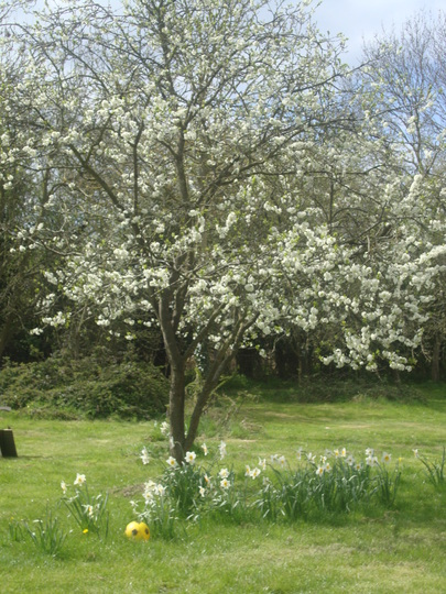 plum tree in flower under planted with daffs.