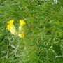 my beloved cowslip and then eaten by DEER!