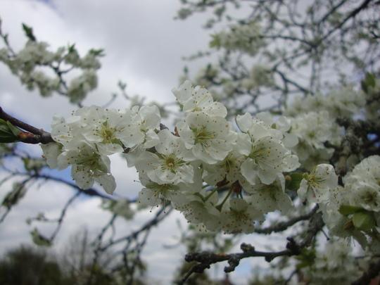 close up of plum blossom smells yummy!