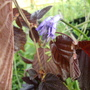 my first bluebell to emerge under the cobnut tree
