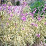 070710_variegated_wallflowers