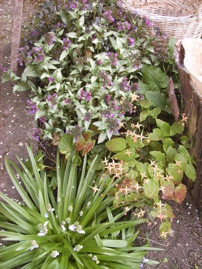 A shady corner (Pulmonaria 'Diana Clare')