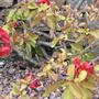Chaenomeles speciosa (Flowering quince) Nicoline
