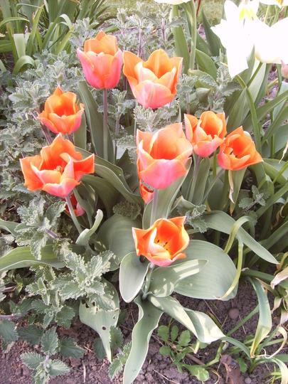 Orange tulip (tulipa)