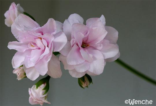 Pelargonium 'Patrica' (Pelargonium 'Patricia')