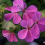 Pelargonium 'Pink Happy Thought' (Pelargonium 'Pink Happy Thought')