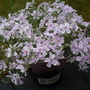 A garden flower photo (Phlox subulata (Moss Phlox))