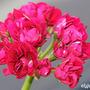 Pelargonium 'Plum rosebud' (Pelargonium 'Prince of Orange')