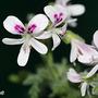 Pelargonium 'Pungent Peppermint' (Pelargonium 'Pungent Peppermint')