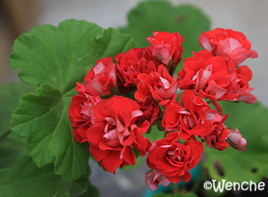 пеларгония red rambler фото