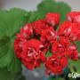 Pelargonium 'Red Rambler' (Pelargonium 'Red Rambler')