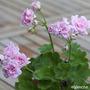Pelargonium 'Rococo' (Pelargonium 'Rococo')