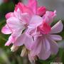 Pelargonium 'Susan Payne' (Pelargonium 'Susan Payne')