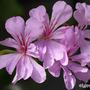 Pelargonium 'Swanland Lace' (Pelargonium 'Swanland Lace')