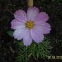 Cosmos picotee. First of the year.