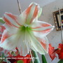 Amaryllis White-red on table Very close 2010-04-29 (Amaryllis Hippeastrum)