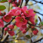 Quince (Chaenomeles x superba (Flowering quince))