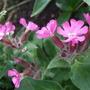 Silene dioica 'Minkin' (Silene dioica (Red Campion))