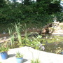 hydrangea annabel (hydragea)