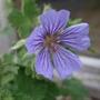 Geranium_peloponnesiacum
