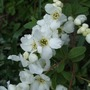 Exochorda x macrantha 'The Bride' (Exochorda x macrantha (Pearl bush) 'The Bride')