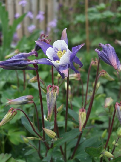 First Aquilegia in flower. (Aquilegia)
