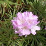 Armeria_bevin_s_beauty_