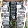 Begonias_in_boxes