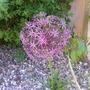 A garden flower photo (allium christophii)