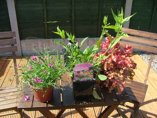 plant in middle is my 3rd new plant called hesperis matronalis