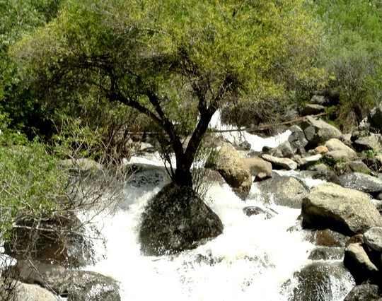 Tree growing in middle of rushing mountain torrent.