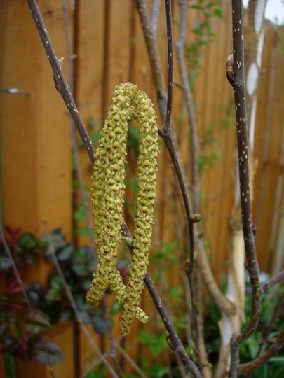 Betula Utilis Catkins (Betula utilis)