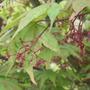 Acer_palmatum_osakazuki_2010