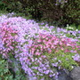 Phlox and Saxifrage