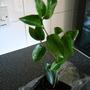 Camellia x williamsii Gerorge Blandford