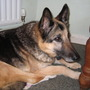 Magic my german Sherperd dog aged 13 and a half