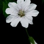 Geranium Pyrenaicum Summer