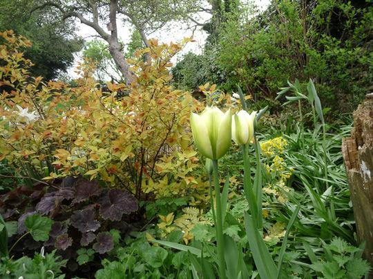 Spring Green  Tulip .