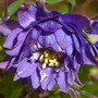 Aquilegia: Clementine Blue...3