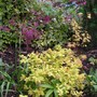 spirea 'goldflame' with two acers (Spiraea japonica 'Goldflame'(Japanese Spiraea))