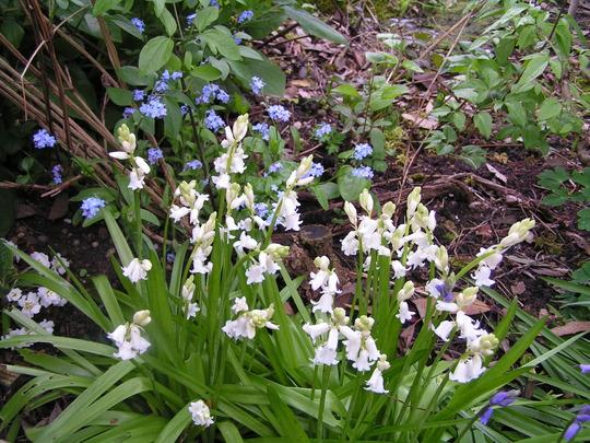 hyacinthoides hispanica white (Hyacinthoides hispanica alba)