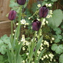 Tulip Queen of the Night (Tulipa( Tulip))