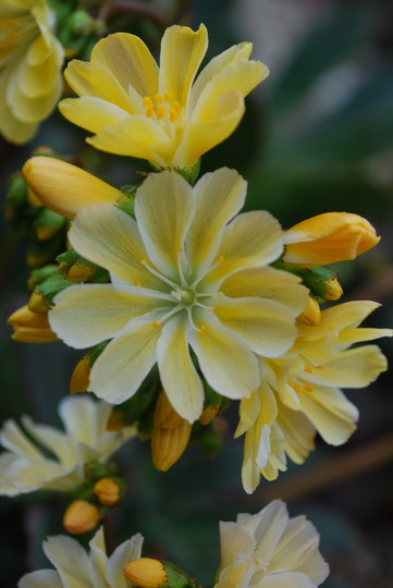 Lewisia Yellow. (Lewisia cotyledon (read more here))