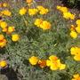 Eschscholzia californica - California Poppy