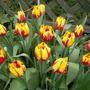 Tulips Crimson/Yellow - whole bunch
