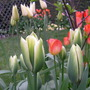 """More """"Irish"""" Themed Tulips"""